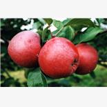 Apple production likely to decline in Hi...